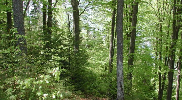 Mischwald mit Naturverjüngung - durch den Samenabfall der Mutterbäume wächst die nächste Baumgeneration ungestört auf.