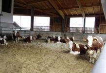 Ein Laufstall mit Komposteinstreu unterstützt die Klauengesundheit und bietet den Rindern ausreichende Bewegungsfreiheit.