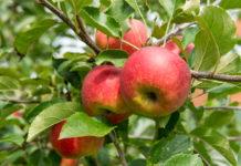 Äpfel bestehen zu rund 85 Prozent aus Wasser und sind dennoch voller gesunder Inhaltsstoffe.