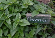 Oregano kennen wir aus der mediterranen Küche; er ist auch ein natürliches Antibiotikum.