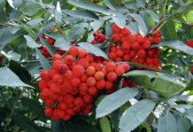 Die Auspflanzung von fruchttragenden Bäumen in Waldrevieren kann im Rahmen der Wildökoland-Aktion des NÖ Landesjagdverbands finanziell unterstützt werden.