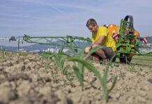 Bis zum Sechsblattstadium des Maises sollte die Herbizidbehandlung abgeschlossen sein.