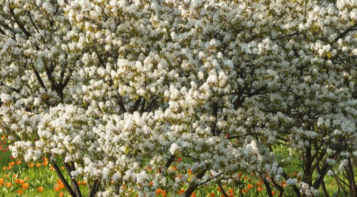 Die essbaren Früchte der Felsenbirne (Amelanchier) können im Sommer direkt vom Strauch genascht werden.