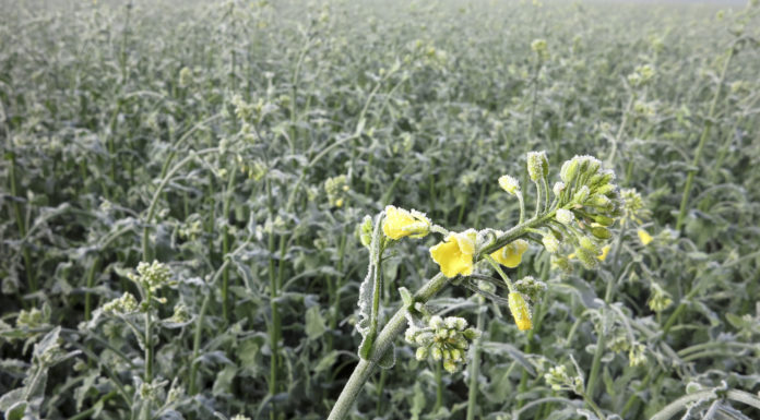 Alleine im Ackerbau sind in Kärnten rund 3000 Hektar betroffen. Auch die Rapsblüten sind durch den Frost beschädigt.