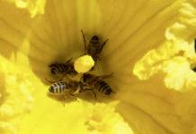 Kürbisblüte mit Bestäubungsbienen