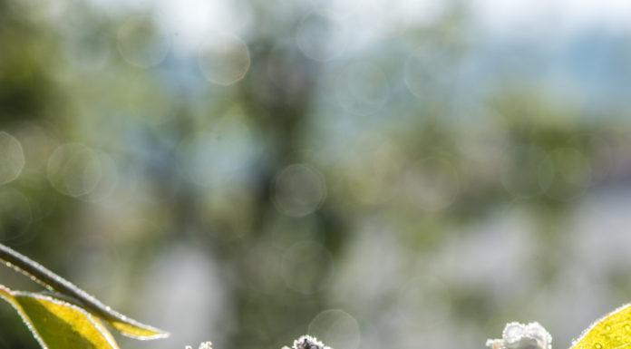 Neben Birnenblüten waren auch weitere Obstsorten und der Weinbau massiv vom Spätfrost im April betroffen.
