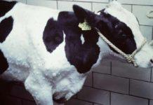 Holsteinrind mit Hautknoten