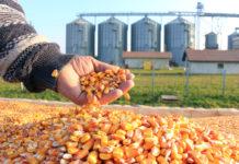 Rekordverdächtige Maiserträge in Ungarn
