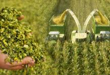 Atletico zählt zu den meistverkauften Maissorten in Österreich.