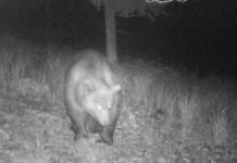 Am 8. Oktober um 23:17 Uhr tappte der Bär in die Fotofalle.