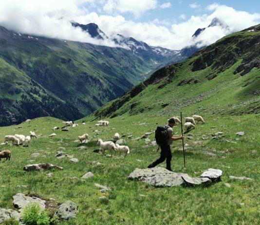 Herdenschutzmaßnahmen sind auf Tirols Almen zwar teilweise möglich, jedoch sehr umständlich und mit hohen Kosten verbunden.