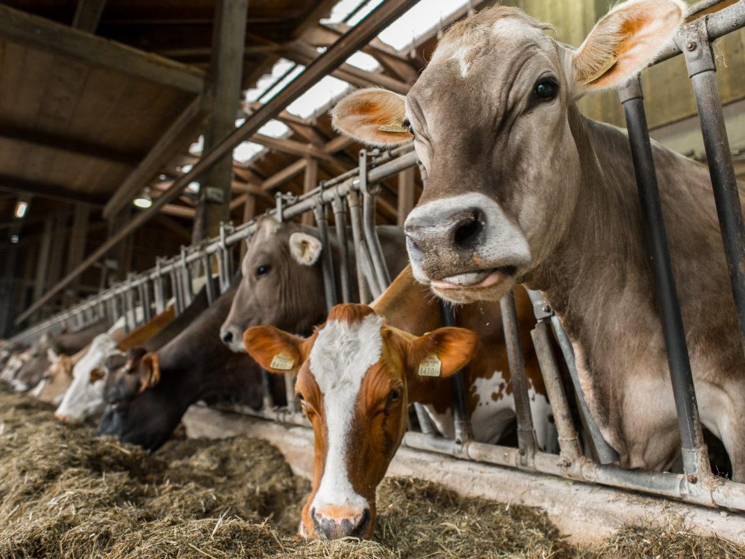 Das Land Tirol unterstützt im Zuge der Zuchtverbesserung Bauernfamilien mit 150 Euro pro geschlachteter Kuh.