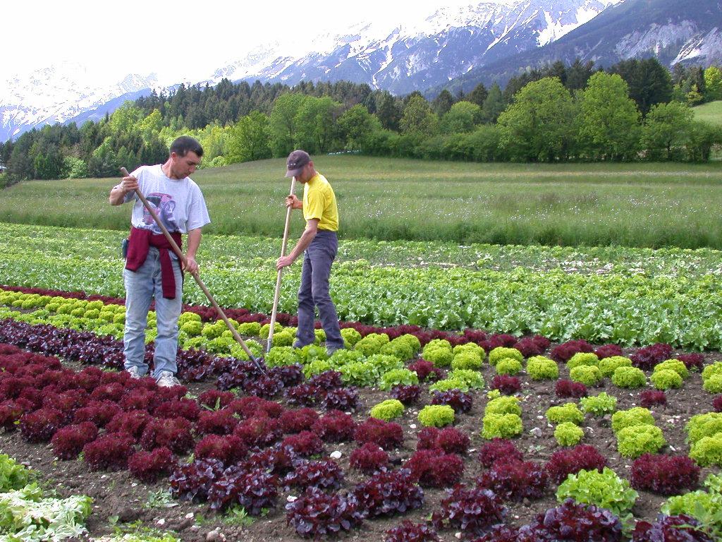 Durch die Einreise rumänischer Stammarbeiter hat sich die Situation auf den Tiroler Gemüsefeldern vorübergehend beruhigt. Mit Beginn der Erdbeer- und Salaternte im Mai wird sich die Lage voraussichtlich wieder zuspitzen.