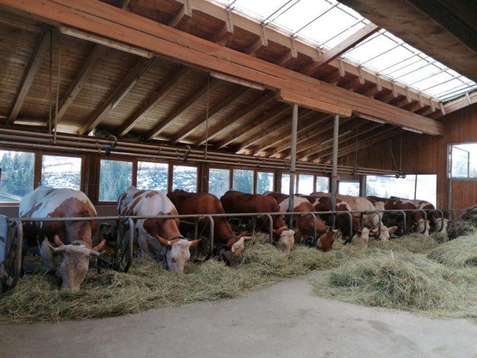 Im Stall von Leopold Dichtl stehen sowohl behornte als auch unbehornte Rinder.