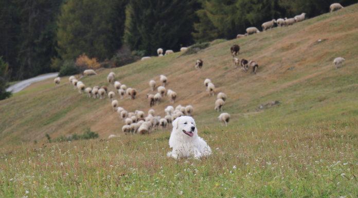 Die Osttiroler Schafherden mit einem Herdenschutzhund zu schützen finden die Bezirksobleute der JB/LJ Bezirk Lienz für nicht sinnvoll.