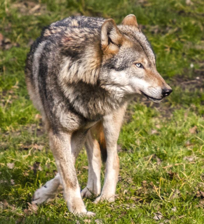 Der Wolf ist in Tirol auf Beutezug.