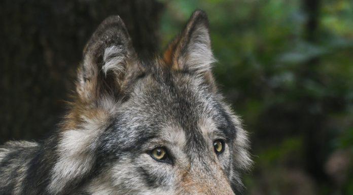 Der Wolfsverdacht in Matrei in Osttirol wurde bestätigt.