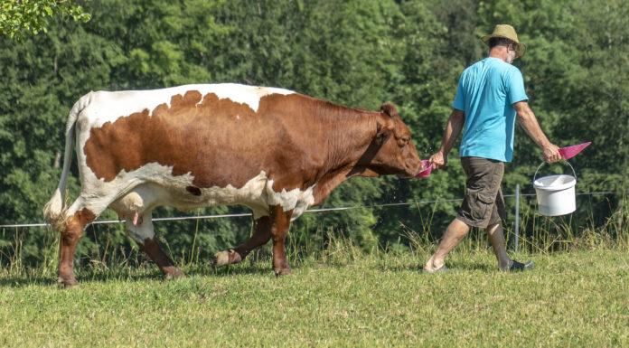 Den größten Teil des landwirtschaftlichen Produktionswerts machen die Milcherzeugung mit 43,7 Prozent und die Rinderhaltung mit 19,3 Prozent aus.