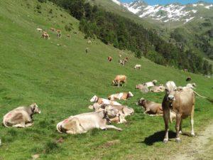 Die Kühe auf der Vinschgauer Kaproner Alm