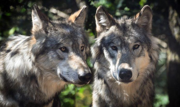 22 tote Schafe wurden innerhalb von drei Wochen in Serfaus aufgefunden. Wolfs-DNA konnte nachgewiesen werden.
