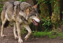 Derzeit streift der Wolf durch Tirols Wälder und Bergwelt.