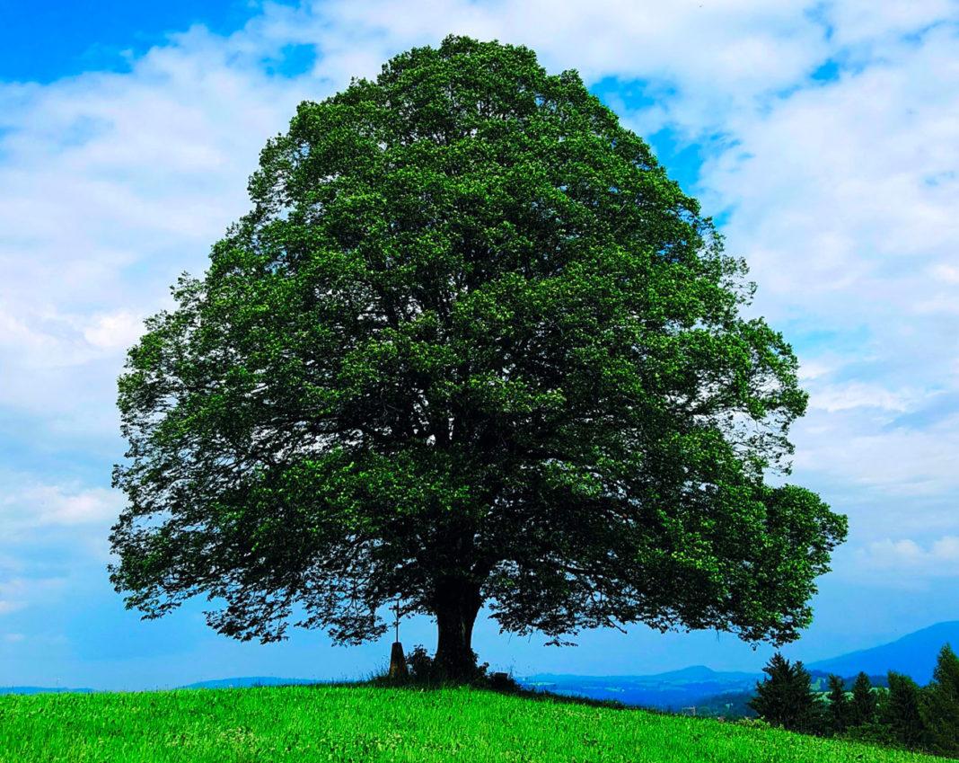 Die Linde ist Baum des Jahres 2021 - Bauernzeitung