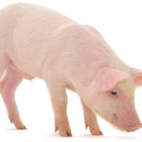 Mitarbeiter für Schweinemast
